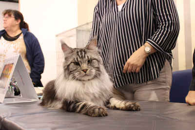 Maine Coon Black silver